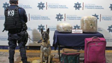 aseguramiento, marihuana, CAPU, perro, comportamiento, maletas, SSPTM, Ministerio Público