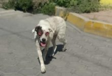 maltrato animal, perro, ojos, Izúcar de Matamoros, Santiago Mihuacán, Ronda de Guardia