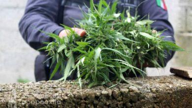 Zacapoaxtla, plantío de Marihuana, construcción abandonada, plantas, Ministerio Público, FGE,
